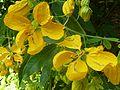Cassia fistula, blomme, a, Manie van der Schijff BT.jpg
