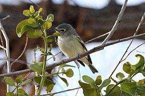Description de l'image Cassin's Vireo (Vireo cassinii).jpg.