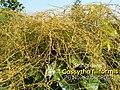 Cassytha filiformis 026.jpg