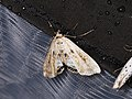 Cataclysta lemnata (42057816670).jpg