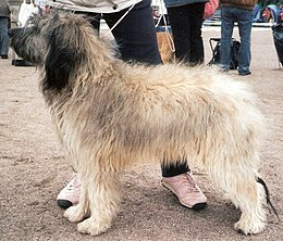 Catalonian Sheepdog.jpg