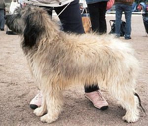 Catalan Sheepdog - Catalan Sheepdog, fawn-white coat