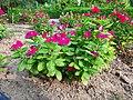 Catharanthus roseus flower 01.jpg