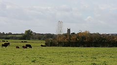 Square church tower showing above tees and shrubs. In the foreground is a grass field with cattle.