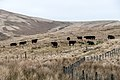 Cattle on ascent to Coupland Knowe - panoramio.jpg