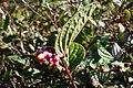 Cavendishia axillaris (6929298434).jpg