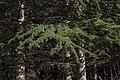 Cedrus libani plantation in Saint-Pons-de-Thomières cf04.jpg
