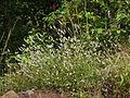 Celosia argentea var. spicata (5111546574).jpg