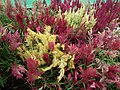Celosia wool flower from Lalbagh flower show Aug 2013 8460.JPG