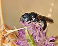 Ceratina chalcites female 4.jpg