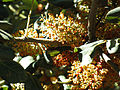 Ceratonia siliqua Inflorescencias 26-10-2010 ArboretoParqueElPilarCiudadReal.jpg