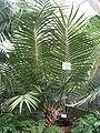 Ceratozamia mexicana Brongn.JPG