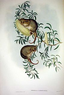 Eastern pygmy possum species of mammal