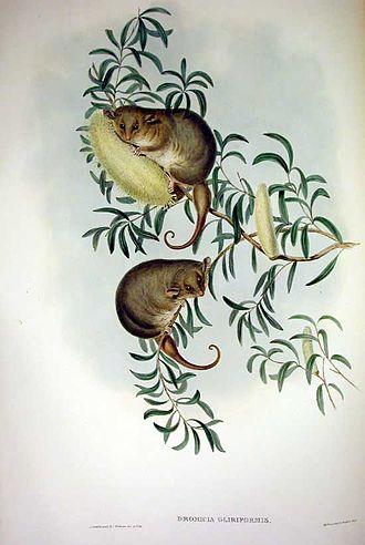 Pygmy possum - Eastern pygmy possum (Cercartetus nanus)