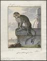 Cercopithecus cephus - 1700-1880 - Print - Iconographia Zoologica - Special Collections University of Amsterdam - UBA01 IZ19900072.tif
