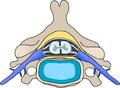 Cervical vertebra blank.png