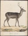 Cervus dama (var. nigra) - 1818-1842 - Print - Iconographia Zoologica - Special Collections University of Amsterdam - UBA01 IZ21500148.tif