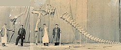 Composite photograph showing Alfred Leeds standing next to the mounted arm and rear skeleton of Cetiosauriscus, from soon before 1905