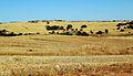 Champs après la récolte - Geraldton WA.JPG