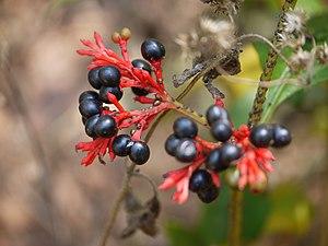 Rauvolfia - Rauvolfia serpentina fruit