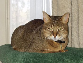 AJ, an F1 male Chausie, photo by Pschemp