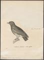 Chelidoptera tenebrosa - 1700-1880 - Print - Iconographia Zoologica - Special Collections University of Amsterdam - UBA01 IZ16800017.tif