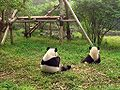 Chengdu-pandas-d05.jpg