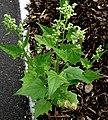 Chenopodium hybridum plant (12).jpg
