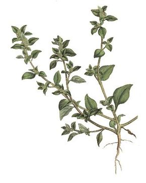 Description de l'image Chenopodium vulvaria - Woodville.jpg.