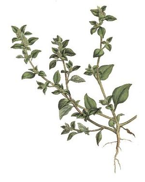 Stinkender Gänsefuß (Chenopodium vulvaria), Illustration
