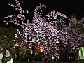 """Cherry-Blossom-Viewing through the """"Tunnel"""" at Japan Mint in 201504 053.JPG"""