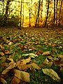 Chestnut's leaves in the sunset - panoramio.jpg