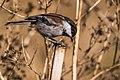 Chestnut-backed Chickadee (28734360915).jpg