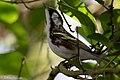 Chestnut-sided Warbler (male) Anahuac NWR-Jackson Prairie Woodlot TX 2018-04-24 16-20-00-4 (42057604871).jpg