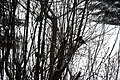 Chickadees and Juncos in a Lilac Bush 4140 (5349654392).jpg