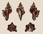 Chicoreus torrefactus 01.JPG