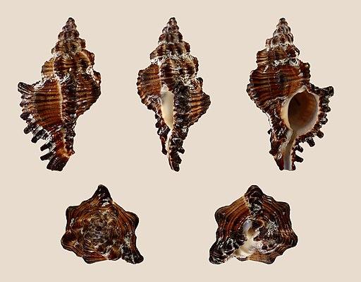 Chicoreus torrefactus 01