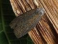 Chilodes maritimus - Silky wainscot - Совка серая камышовая (41075882572).jpg