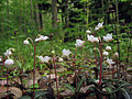 Chimaphila maculata in flower.jpg