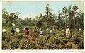 Chinese Tea Gardenat Pinehurst, Summerville, SC (NBY 429588).jpg