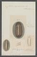 Chiton squamosus - - Print - Iconographia Zoologica - Special Collections University of Amsterdam - UBAINV0274 081 06 0005.tif