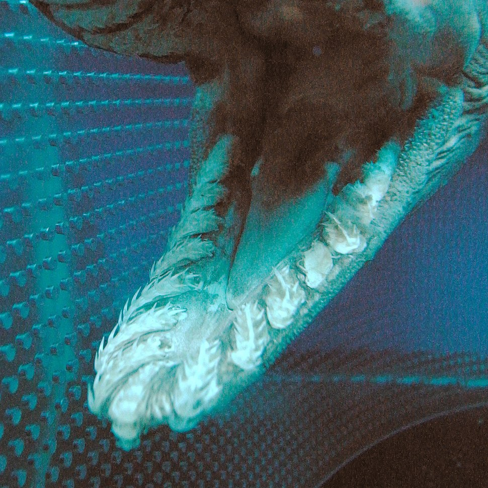 Close up of the lower jaw of a preserved shark, showing many small, sharp teeth