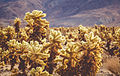 Cholla Cactus Garden Joshua Tree National Park California (19257934583).jpg