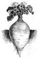 Chou-navet blanc Vilmorin-Andrieux 1883.png