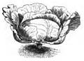 Chou de Brunswick Vilmorin-Andrieux 1883.png
