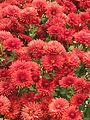 Chrysanthemum - Indian Botanic Garden - Howrah 2012-01-29 1754.JPG