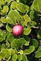 Chrysobalanus icaco (fruit).jpg