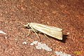 Chrysoteuchia culmella (BG) (15387292521).jpg