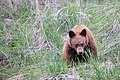 Cinnamon black bear cub (a2c5d185-795c-4268-b38b-5682be226503).jpg