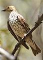 Cinnyricinclus leucogaster, Pilanesberg 8.jpg